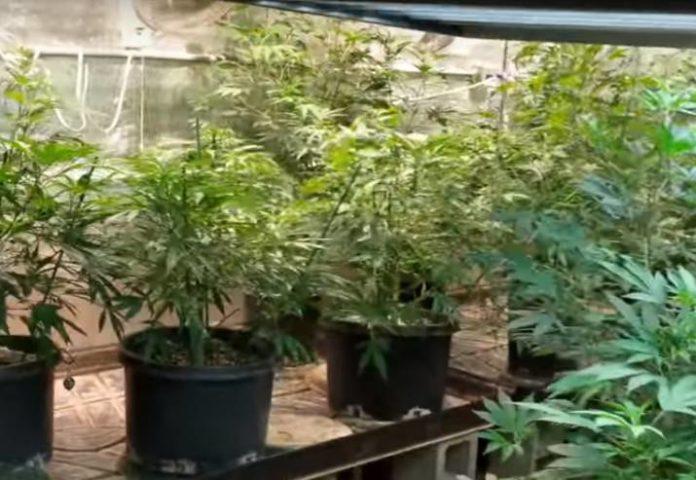 Proteger a las Plantas de Marihuana durante una Ola de Calor