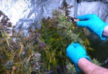 Cuál es el Mejor Medio de Cultivo para las Plantas de Marihuana
