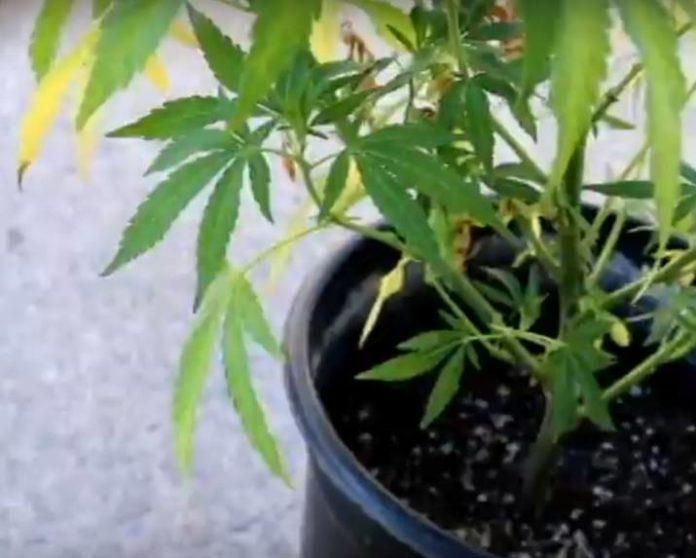 Por qué Purgar las Plantas de Marihuana Enfermas