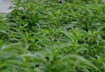 Conceptos Básicos del Cultivo de Marihuana al Aire Libre