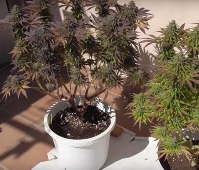 Cuánta Luz Solar para las Plantas de Marihuana al Aire Libre