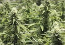 Componentes Clave de las Plantas de Marihuana Femeninas