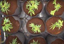 ¿Cómo Preparar tu Cultivo de Marihuana en Invierno?