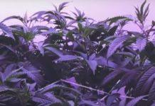 ¿Cómo llevar tu Cultivo de Marihuana a un Nivel Superior?
