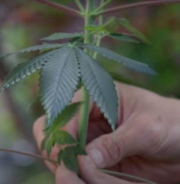 Componentes de las Plantas de Marihuana Femeninas