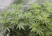 Pequeña Guía para el Cultivo de Marihuana en Casa