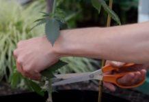 Formas de Usar Poda de la Cosecha de Marihuana