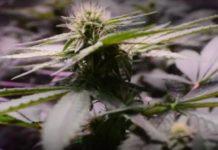 Guía para Saber cómo Actúa la Marihuana en el Cuerpo