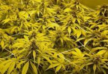 Diferenciar una Marihuana Indica de una Marihuana Sativa