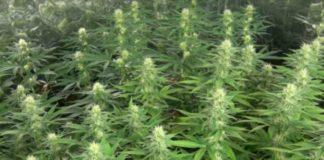 Cuidar la Planta de Marihuana en la Floración