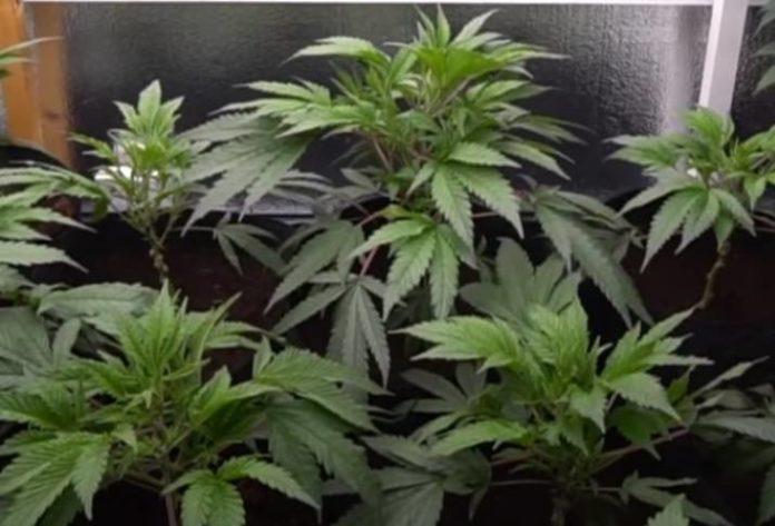 Los Mejores Usos para las Hojas de Marihuana