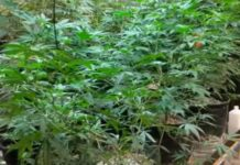 Cultivadores de Marihuana de Diferentes Variedades de Cepas