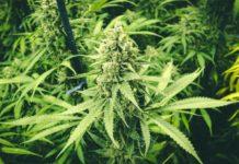 Qué Sucede en Nuestro Cuerpo Realmente Cuando se usa Marihuana