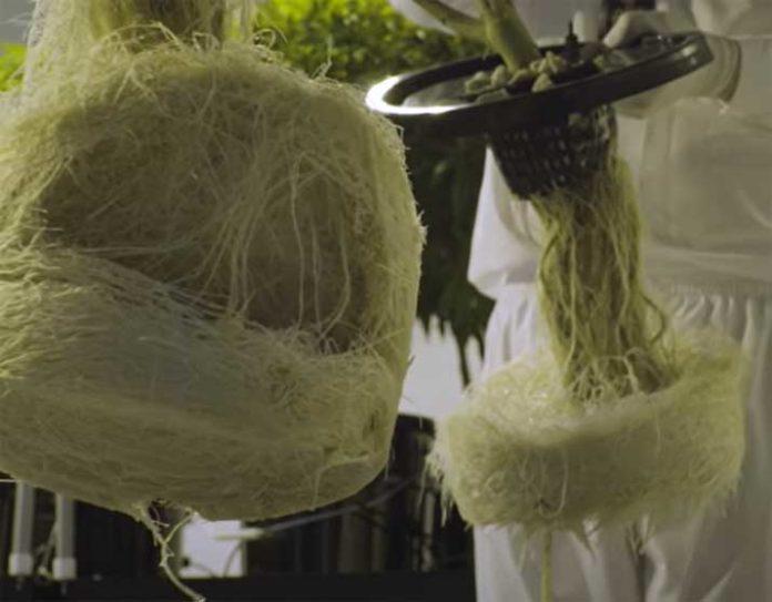 Precaución con las Algas en el Cultivo Hidropónico