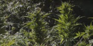 Cultivo de Marihuana con Alto THC y Cultivo con Alto Contenido en CBD