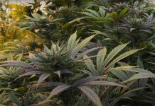 Cómo Tenemos que Cultivar Marihuana en el Suelo