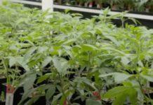 Guía para hacer Semillas de Marihuana Feminizadas en Casa