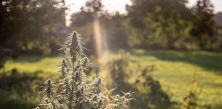 Las Mejores Variedades de Marihuana