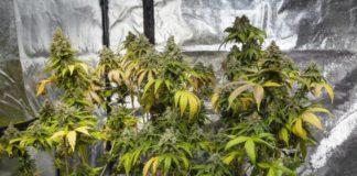 Formas de Complementar su Cultivo Interior con CO2