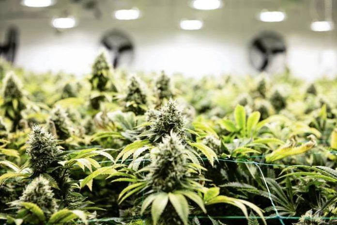 ¿Qué son los flavonoides de la Marihuana?