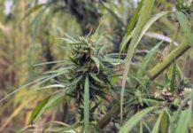 Cultivando la Variedad de Marihuana Rudealis