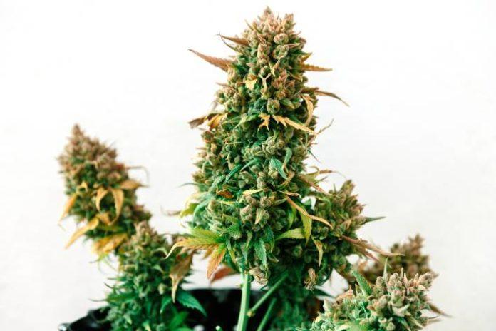 pH como Afecta a las Plantas de Marihuana