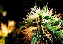 Terpenos y los Terpenoides en la Marihuana