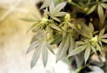 Cepas de Marihuana Importantes para el Dolor Crónico