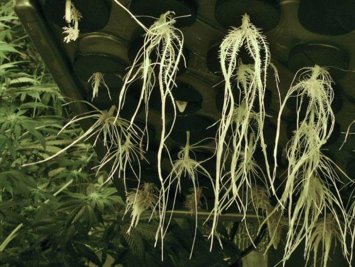 Hidroponía en el cultivo de marihuana - DWC (Deep Water Culture)