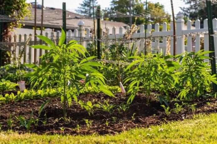 La Mejores Variedades de Marihuana con Efecto Relajante