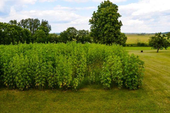 8 Micronutrientes para los Cultivos de Marihuana