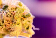 ¿Debo Mantener mis Cogollos de Marihuana en el Congelador?