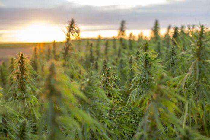 Cultivo de Marihuana en Interiores y Exteriores