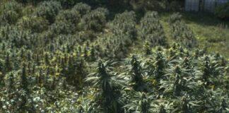 Primer mes Cuando va Saliendo la Planta de Marihuana