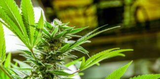 Maneras de Asegurar su Cultivo de Marihuana