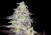 Auto Kabul - Semilla de Marihuana Auto Kabul de Divine Seeds