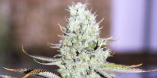 Auto Opium - Semilla de Marihuana Auto Opium de Divine Seeds