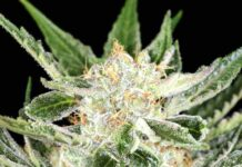 White Widow - Semilla de Marihuana White Widow