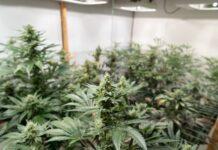 Guía sobre el Cultivo de Plantas de Marihuana
