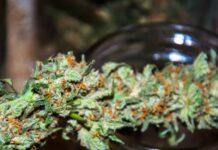 Semillas de Marihuana que Producen Cogollos de Marihuana