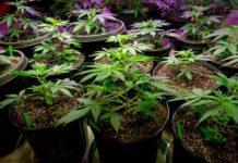 ¿Cuál es la Duración de la Etapa de Floración de la Marihuana?