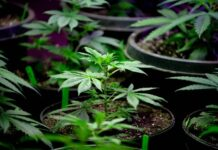 Cuáles son las Semillas de Marihuana más Fáciles de Cultivar