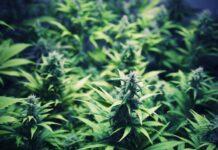 Las Mejores Variedades de Marihuana Indicas Exóticas