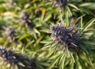 ¿Qué hacen los Flavonoides de la Marihuana?