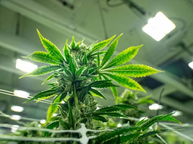 Las Mejores Semillas de Marihuana Autoflorecientes para Cultivar
