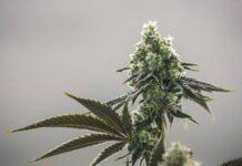 Las Mejores Semillas de Marihuana para Comprar Online