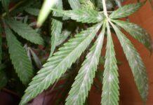 Moho Gris en las Plantas de Marihuana