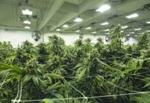 Las Mejores Semillas de Marihuana para Grandes Cosechas