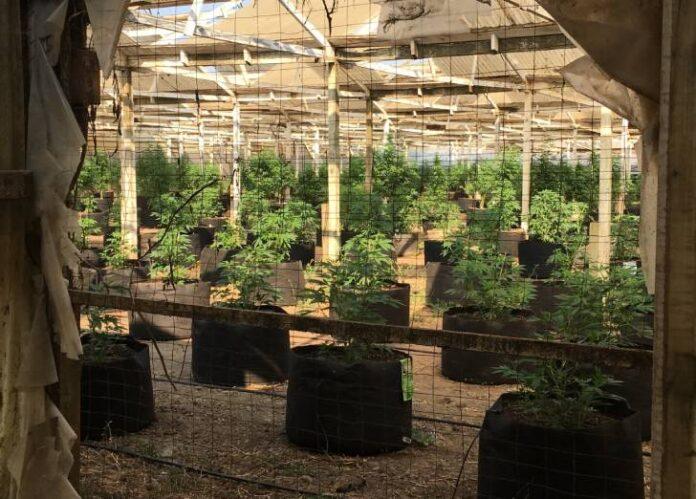 Longitudes de Onda en el cultivo de Marihuana