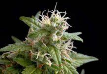 Variedades de Marihuana para mejorar la Ansiedad